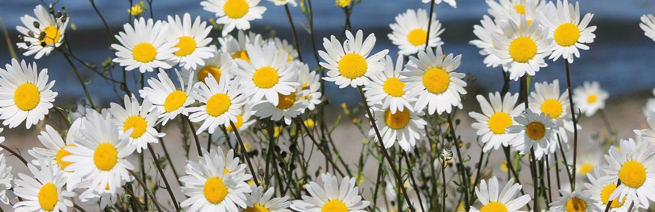 banner_daisy